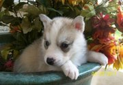 SIBERIAN HUSKYS  FOR A GOOD HOME